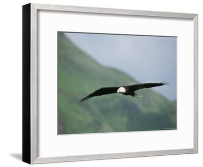An American Bald Eagle in Flight-Tom Murphy-Framed Photographic Print