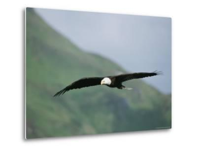 An American Bald Eagle in Flight-Tom Murphy-Metal Print