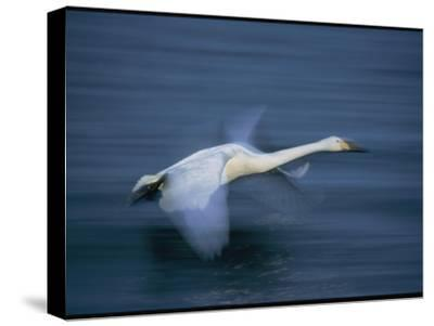 Whooper Swan Flies Low Over Water-Tim Laman-Stretched Canvas Print