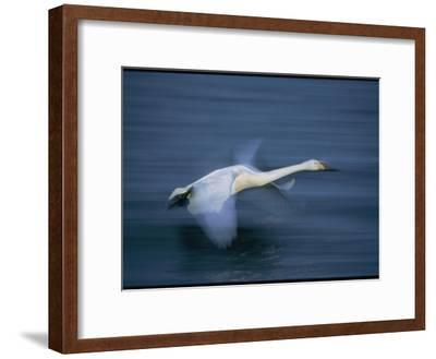 Whooper Swan Flies Low Over Water-Tim Laman-Framed Photographic Print