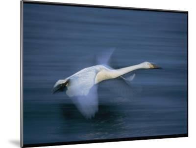 Whooper Swan Flies Low Over Water-Tim Laman-Mounted Photographic Print