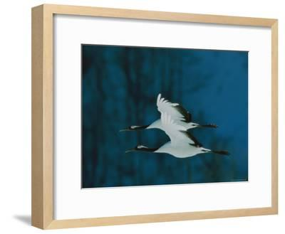 Perfect Formation of Two Japanese or Red-Crowned Cranes in Flight-Tim Laman-Framed Photographic Print