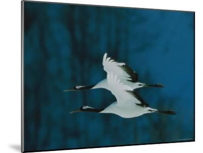 Perfect Formation of Two Japanese or Red-Crowned Cranes in Flight-Tim Laman-Mounted Photographic Print