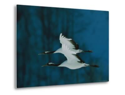 Perfect Formation of Two Japanese or Red-Crowned Cranes in Flight-Tim Laman-Metal Print