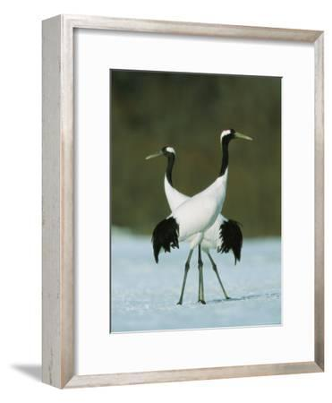 Pair of Japanese or Red-Crowned Cranes-Tim Laman-Framed Photographic Print