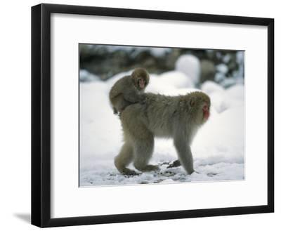 Young Japanese Macaque, or Snow Monkey, Rides on Its Mother's Back-Tim Laman-Framed Photographic Print
