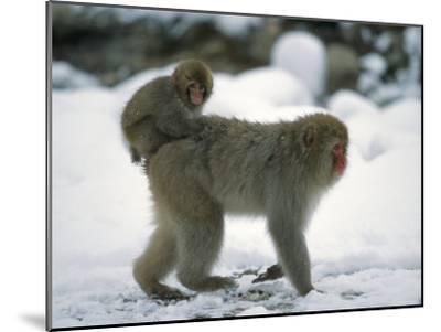 Young Japanese Macaque, or Snow Monkey, Rides on Its Mother's Back-Tim Laman-Mounted Photographic Print