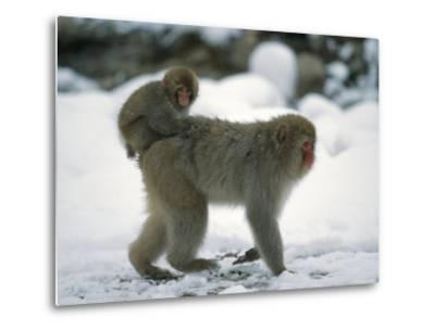 Young Japanese Macaque, or Snow Monkey, Rides on Its Mother's Back-Tim Laman-Metal Print