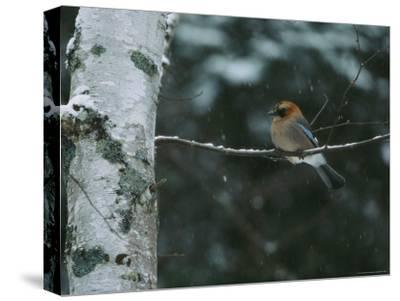 An Eurasian Jay Perched on the Limb of a Birch Tree-Tim Laman-Stretched Canvas Print