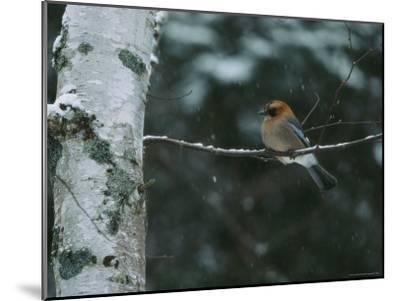 An Eurasian Jay Perched on the Limb of a Birch Tree-Tim Laman-Mounted Photographic Print