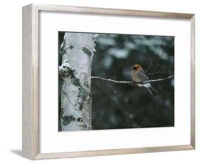 An Eurasian Jay Perched on the Limb of a Birch Tree-Tim Laman-Framed Photographic Print