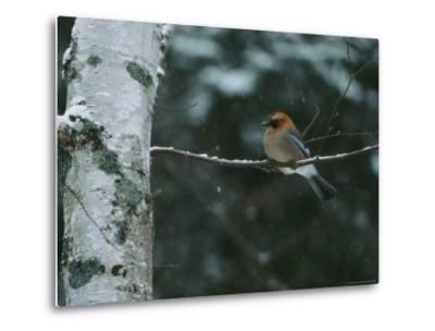An Eurasian Jay Perched on the Limb of a Birch Tree-Tim Laman-Metal Print