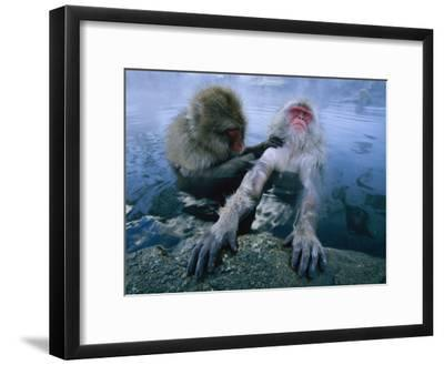 Two Japanese Macaques, or Snow Monkeys, Enjoy a Dip in a Hot Spring-Tim Laman-Framed Photographic Print