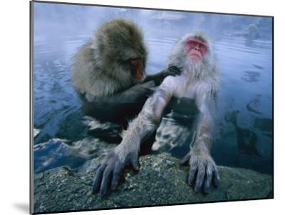 Two Japanese Macaques, or Snow Monkeys, Enjoy a Dip in a Hot Spring-Tim Laman-Mounted Photographic Print