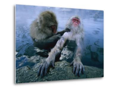 Two Japanese Macaques, or Snow Monkeys, Enjoy a Dip in a Hot Spring-Tim Laman-Metal Print