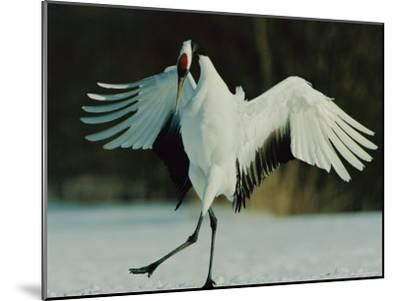 Japanese or Red-Crowned Crane Displays Itself-Tim Laman-Mounted Photographic Print