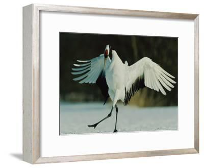 Japanese or Red-Crowned Crane Displays Itself-Tim Laman-Framed Photographic Print