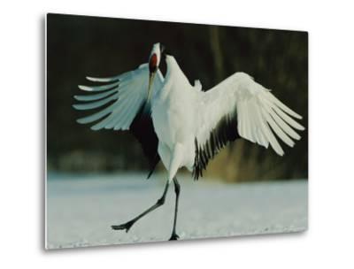 Japanese or Red-Crowned Crane Displays Itself-Tim Laman-Metal Print