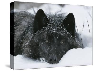 Covered with Snow Flakes, a Gray Wolf, Canis Lupus, Rest in More Snow-Jim And Jamie Dutcher-Stretched Canvas Print