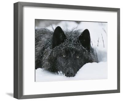 Covered with Snow Flakes, a Gray Wolf, Canis Lupus, Rest in More Snow-Jim And Jamie Dutcher-Framed Photographic Print