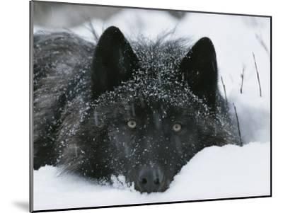 Covered with Snow Flakes, a Gray Wolf, Canis Lupus, Rest in More Snow-Jim And Jamie Dutcher-Mounted Photographic Print