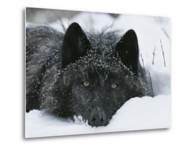 Covered with Snow Flakes, a Gray Wolf, Canis Lupus, Rest in More Snow-Jim And Jamie Dutcher-Metal Print