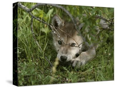 An 8-Week-Old Gray Wolf Pup, Canis Lupus, Peers From a Hiding Spot-Jim And Jamie Dutcher-Stretched Canvas Print