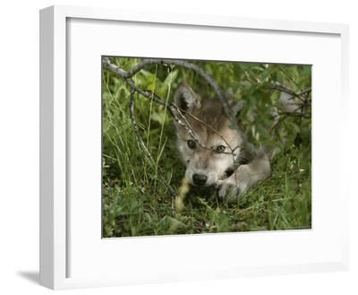 An 8-Week-Old Gray Wolf Pup, Canis Lupus, Peers From a Hiding Spot-Jim And Jamie Dutcher-Framed Photographic Print
