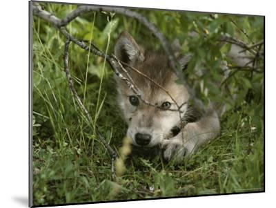 An 8-Week-Old Gray Wolf Pup, Canis Lupus, Peers From a Hiding Spot-Jim And Jamie Dutcher-Mounted Photographic Print