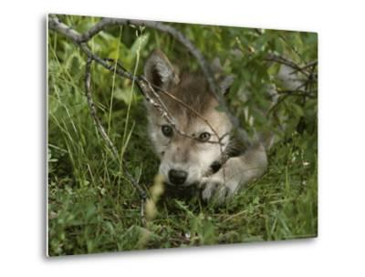 An 8-Week-Old Gray Wolf Pup, Canis Lupus, Peers From a Hiding Spot-Jim And Jamie Dutcher-Metal Print