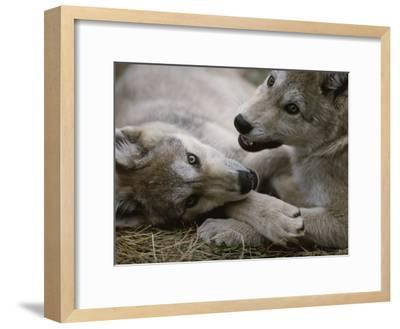 Fourteen-Week-Old Gray Wolves, Canis Lupus, Play with Each Other-Jim And Jamie Dutcher-Framed Photographic Print