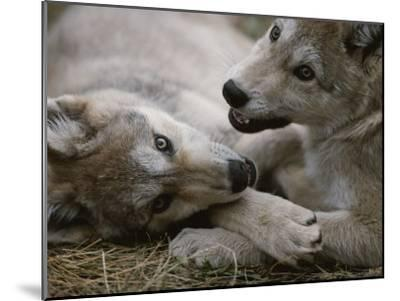 Fourteen-Week-Old Gray Wolves, Canis Lupus, Play with Each Other-Jim And Jamie Dutcher-Mounted Photographic Print