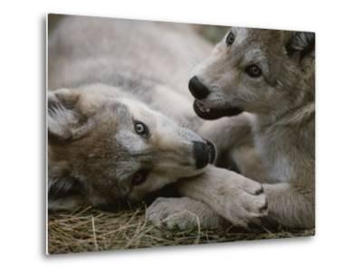 Fourteen-Week-Old Gray Wolves, Canis Lupus, Play with Each Other-Jim And Jamie Dutcher-Metal Print