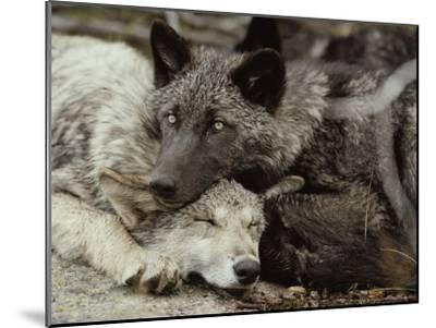 Twenty-Week-Old Gray Wolves, Canis Lupus, Rest Together-Jim And Jamie Dutcher-Mounted Photographic Print