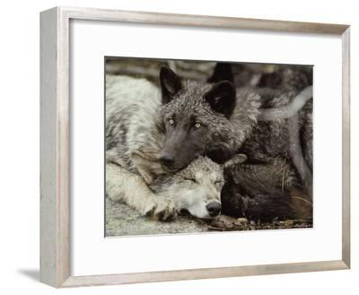 Twenty-Week-Old Gray Wolves, Canis Lupus, Rest Together-Jim And Jamie Dutcher-Framed Photographic Print