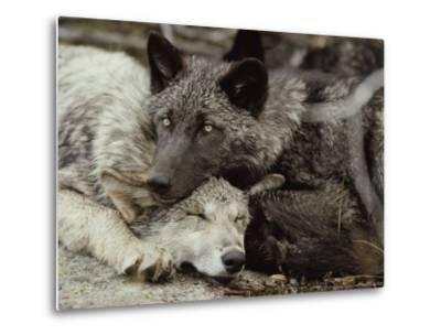 Twenty-Week-Old Gray Wolves, Canis Lupus, Rest Together-Jim And Jamie Dutcher-Metal Print