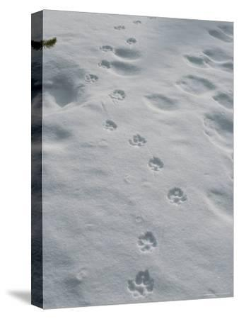 Gray Wolf, Canis Lupus, Tracks Head Across a Snowy Field-Jim And Jamie Dutcher-Stretched Canvas Print