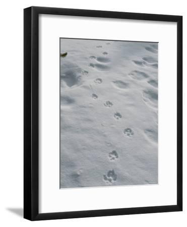 Gray Wolf, Canis Lupus, Tracks Head Across a Snowy Field-Jim And Jamie Dutcher-Framed Photographic Print
