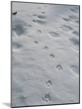 Gray Wolf, Canis Lupus, Tracks Head Across a Snowy Field-Jim And Jamie Dutcher-Mounted Photographic Print