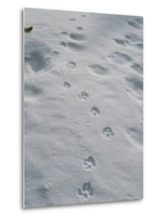Gray Wolf, Canis Lupus, Tracks Head Across a Snowy Field-Jim And Jamie Dutcher-Metal Print
