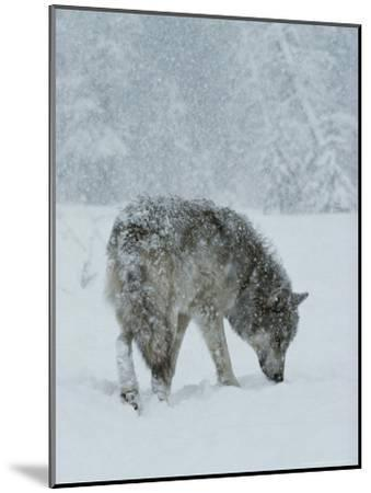 Gray Wolf, Canis Lupus, Sniffs at the Ground During a Snowstorm-Jim And Jamie Dutcher-Mounted Photographic Print
