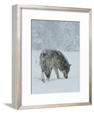Gray Wolf, Canis Lupus, Sniffs at the Ground During a Snowstorm-Jim And Jamie Dutcher-Framed Photographic Print
