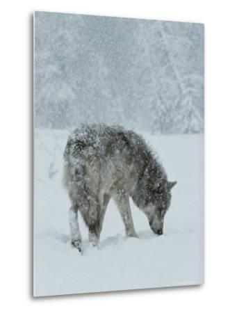 Gray Wolf, Canis Lupus, Sniffs at the Ground During a Snowstorm-Jim And Jamie Dutcher-Metal Print