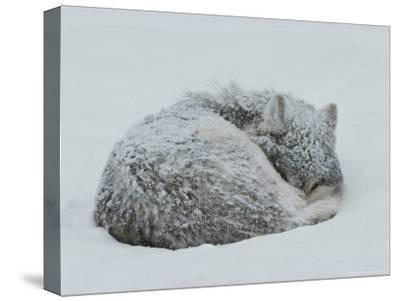 Gray Wolf, Canis Lupus, Curls Up in the Snow to Sleep-Jim And Jamie Dutcher-Stretched Canvas Print