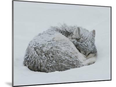 Gray Wolf, Canis Lupus, Curls Up in the Snow to Sleep-Jim And Jamie Dutcher-Mounted Photographic Print