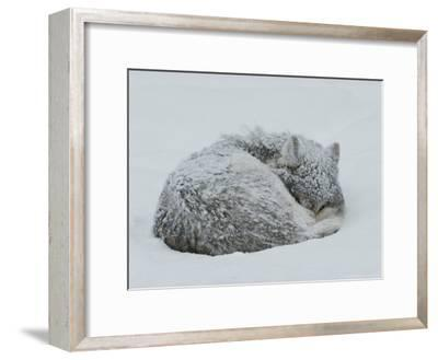 Gray Wolf, Canis Lupus, Curls Up in the Snow to Sleep-Jim And Jamie Dutcher-Framed Photographic Print