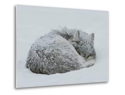 Gray Wolf, Canis Lupus, Curls Up in the Snow to Sleep-Jim And Jamie Dutcher-Metal Print