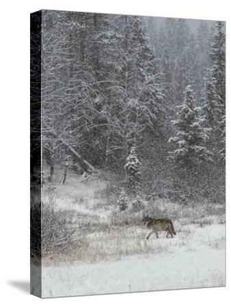 Gray Wolf, Canis Lupus, Walks in a Wintry Snow-Filled Landscape-Jim And Jamie Dutcher-Stretched Canvas Print