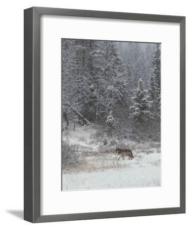 Gray Wolf, Canis Lupus, Walks in a Wintry Snow-Filled Landscape-Jim And Jamie Dutcher-Framed Photographic Print