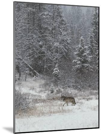 Gray Wolf, Canis Lupus, Walks in a Wintry Snow-Filled Landscape-Jim And Jamie Dutcher-Mounted Photographic Print